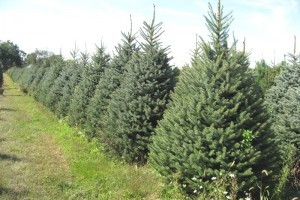 blue spruce - Live Christmas Trees